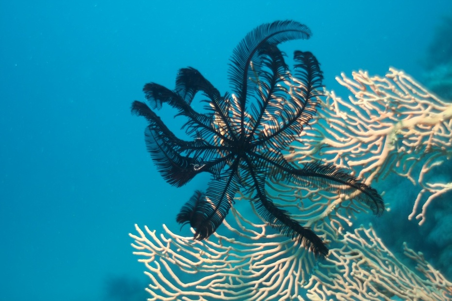 Black feather star