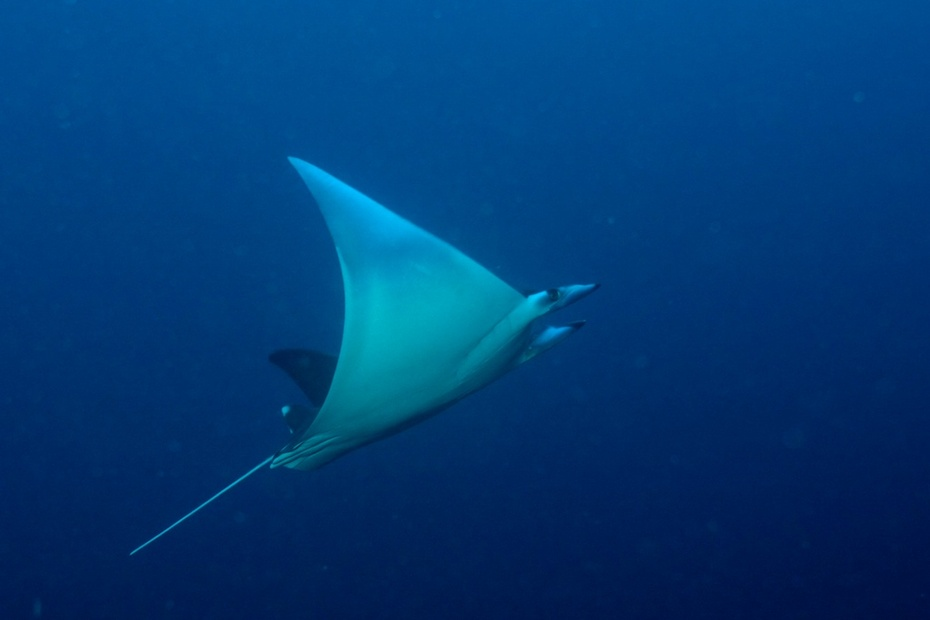 Japanese devil ray