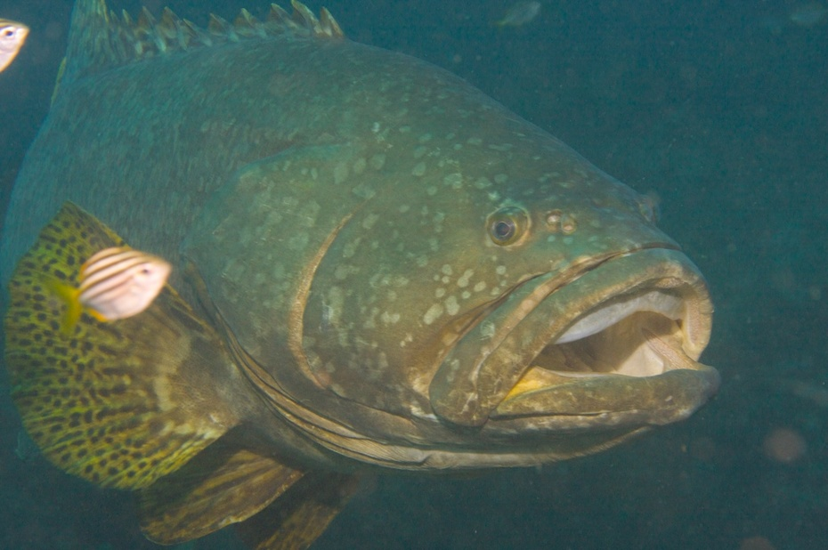 Queensland Grouper