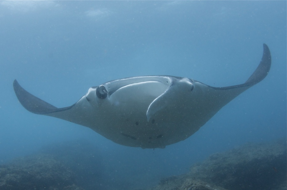 Manta ray with damaged mandible
