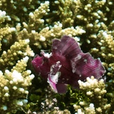 Purple frogfish?