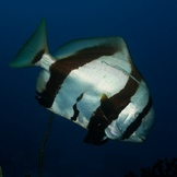 Scarred batfish