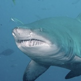 Grey Nurse Shark portrait