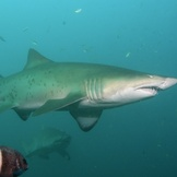 Grey Nurse Shark and fish