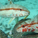 Pair of Goatfish