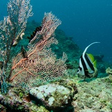 Sea Fan and Moorish Idol