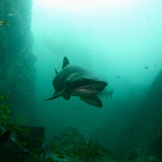 Grey nurse shark guarding Fish Rock Cave