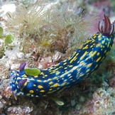 Blue and yellow nudibranch