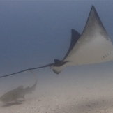 Eagle ray and leopard shark