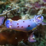 Light blue nudibranch