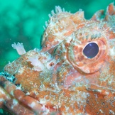 Stonefish portrait
